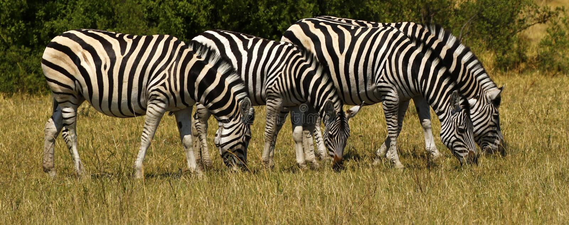 Beau zèbre de Waterbucks et de Burchell sur les plaines africaines photographie stock