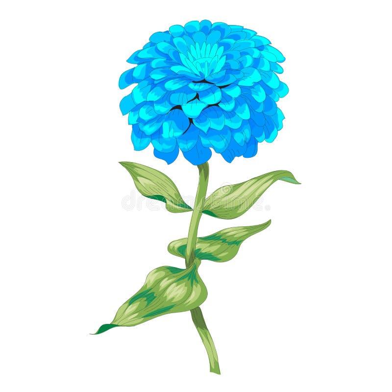 Beau zinnia bleu de fleur d'isolement sur le fond blanc Un grands bourgeon et inflorescence sur une tige avec les feuilles vertes illustration de vecteur