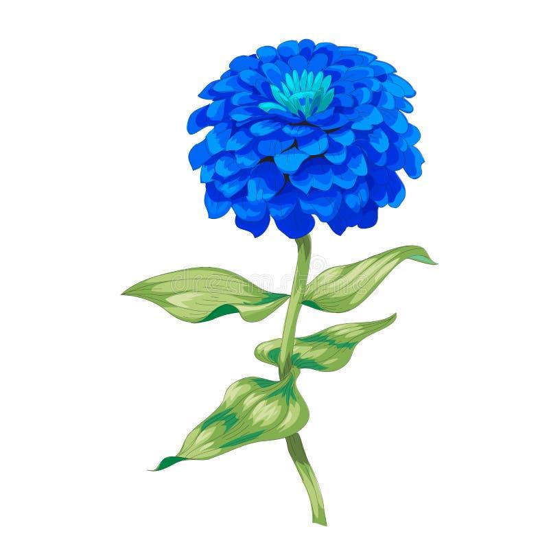 Beau zinnia bleu de fleur d'isolement sur le fond blanc Un grands bourgeon et inflorescence sur une tige avec les feuilles vertes illustration libre de droits