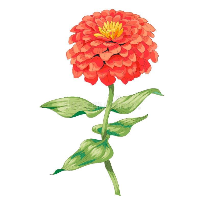Beau zinnia rouge de fleur d'isolement sur le fond blanc Un grands bourgeon et inflorescence sur une tige avec les feuilles verte illustration stock