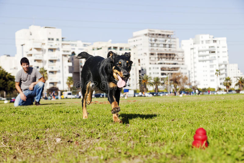 Beauceron / Australian Shepherd Running after Dog Chew Toy. A Beauceron and Australian Shepherd mixed breed dog running for its chew toy with its owner looking stock photography