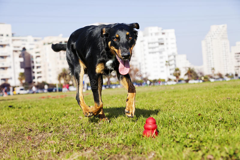 Download Beauceron / Australian Shepherd Running After Dog Chew Toy Stock Image - Image: 30173323