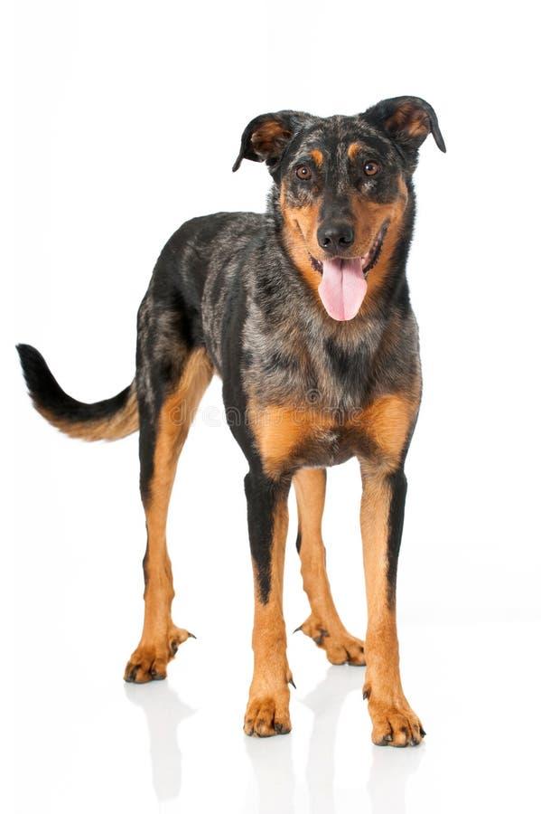 Beauceron dog stock images