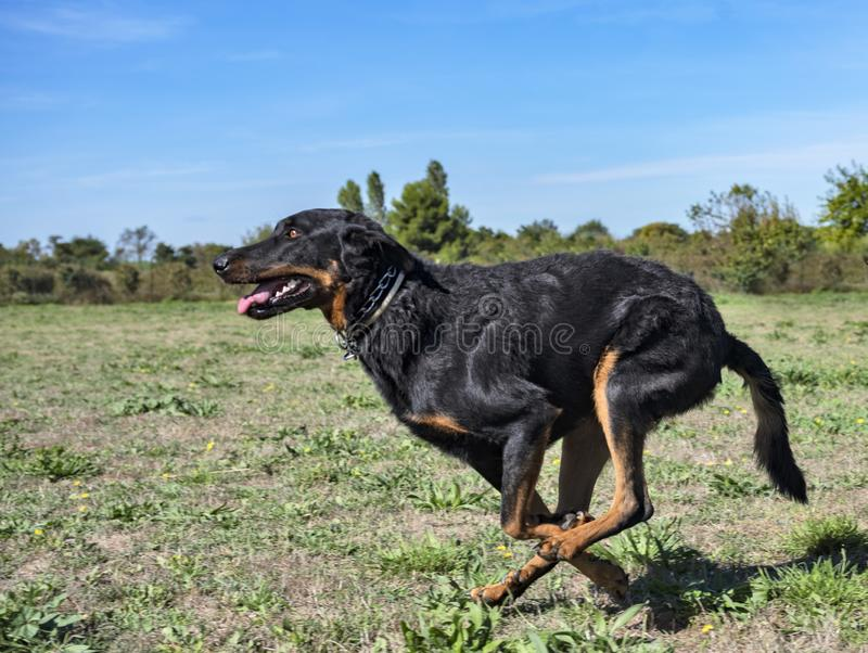Beauceron in obedience. French shepherd in a training of obedience royalty free stock images