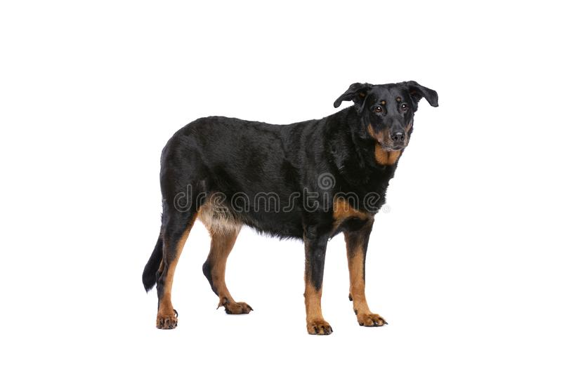 Beauceron images stock