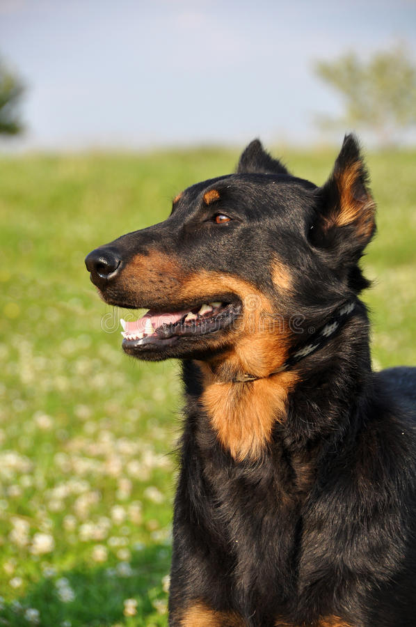 Beauceron pies zdjęcie stock