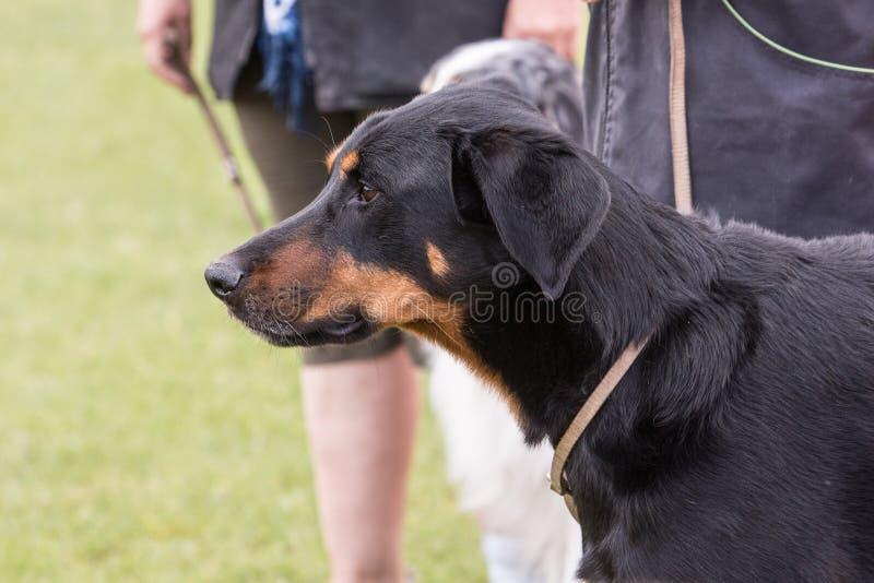 Beauceron psa utrzymanie w Belgium zdjęcie stock