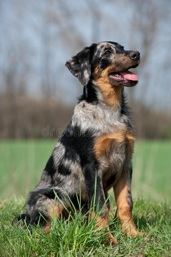 Beauceron Puppy Royalty Free Stock Images