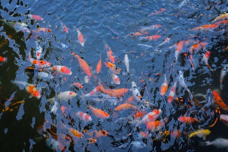 Beaucoup couleur de Koi Fish sur l'étang du lac Concept de la prospérité, de la fortune et de la bonne chance photo stock