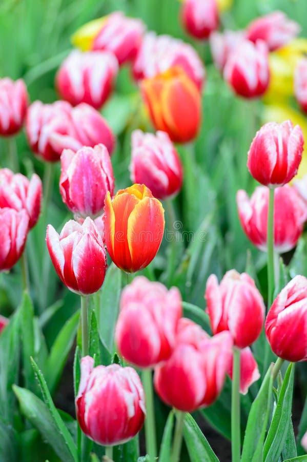 Beaucoup couleur de tulipe dans le jardin photo libre de droits