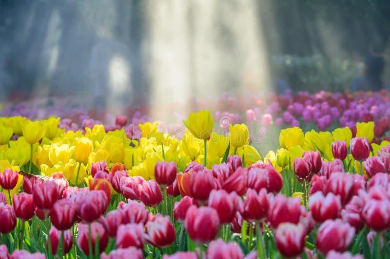 Beaucoup couleur de tulipe dans le jardin images libres de droits