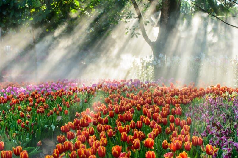 Beaucoup couleur de tulipe dans le jardin photos libres de droits
