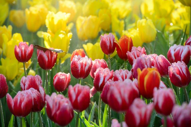 Beaucoup couleur de tulipe dans le jardin images stock