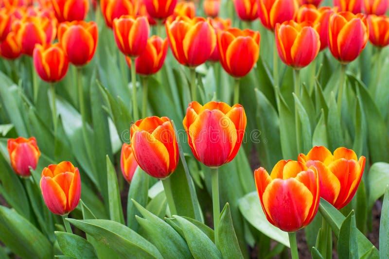 Beaucoup couleur de tulipe dans le jardin photographie stock libre de droits