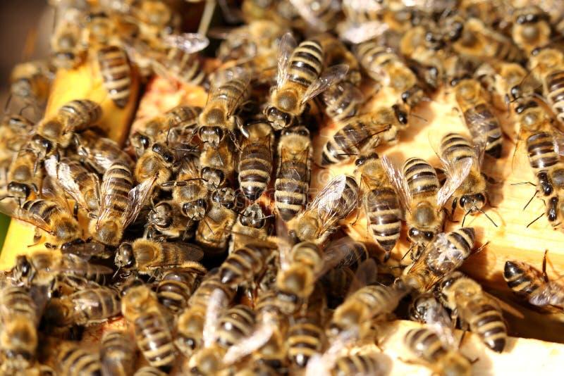Beaucoup d'abeilles de miel travaillent images libres de droits