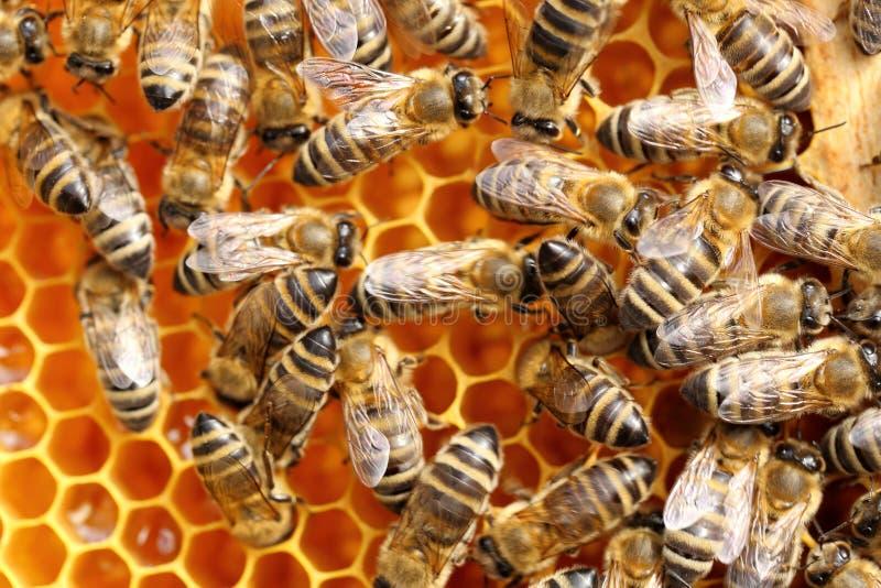 Beaucoup d'abeilles prennent le nectar images stock