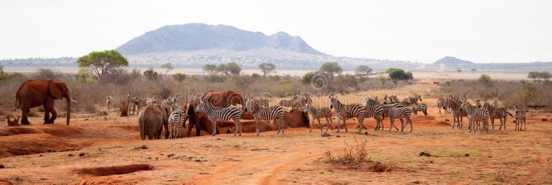 Beaucoup d'animaux, zèbres, éléphants se tenant sur le point d'eau images libres de droits