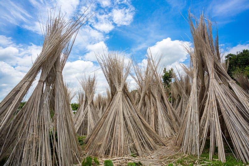 Beaucoup de bâtons de jute sont empilés pour sécher au soleil à Madhabdi, Narsingdi, Bangladesh photographie stock
