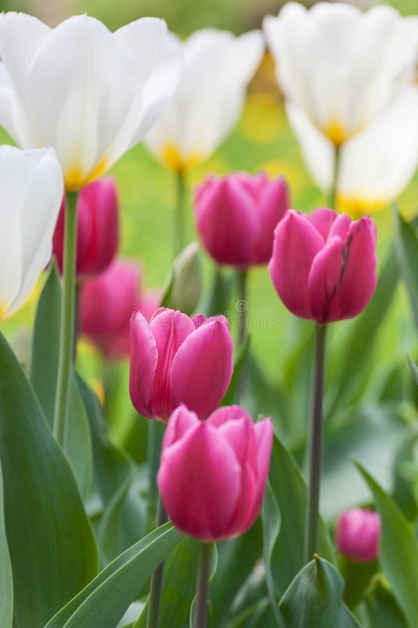 Beaucoup de belles tulipes avec différentes couleurs dans le jardin photo libre de droits