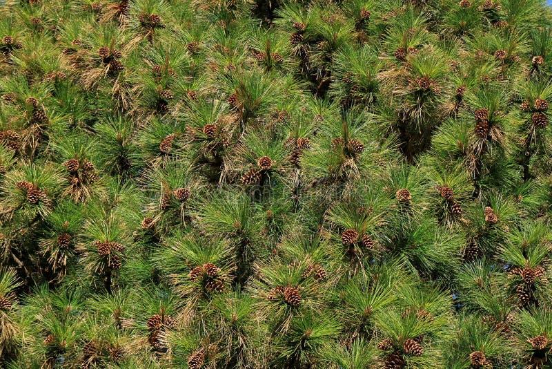Beaucoup de cônes de pin accrochant sur le pin à la lumière du soleil d'automne de l'EL Calafate, Patagonia, Argentine image stock
