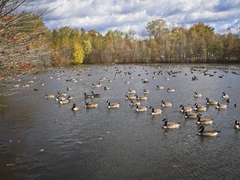 Beaucoup de canards photo libre de droits