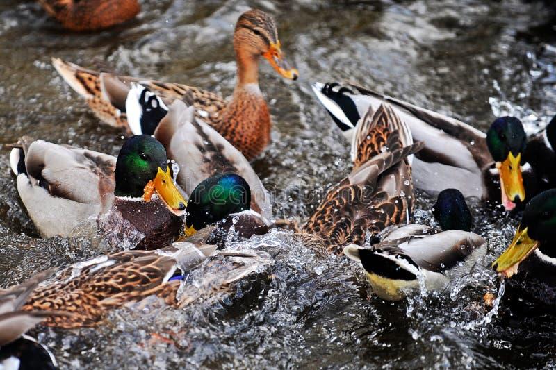 Beaucoup de canards nageant dans un étang image libre de droits