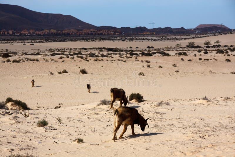 Beaucoup de chèvres dans le désert photos libres de droits
