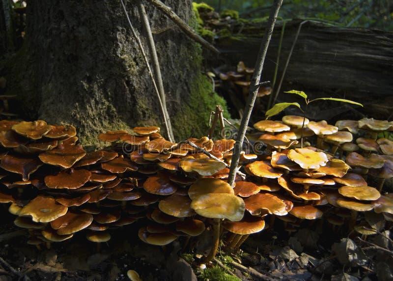 Beaucoup de champignons autour de l'arbre images libres de droits