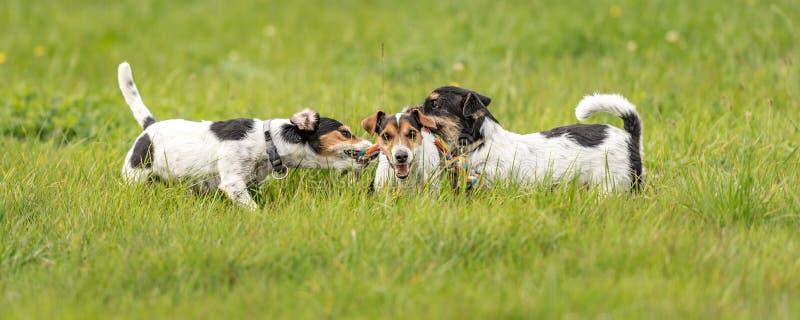 Beaucoup de chiens fonctionnent et jouent avec une boule dans un pré - un paquet mignon de Jack Russell Terriers image stock