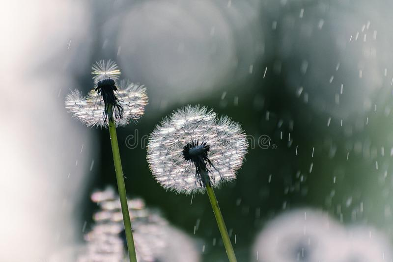 Beaucoup de couleurs sensibles blanches d'air des pissenlits et de la pluie ensoleillée et des mouches de ressort volant dans le  image libre de droits