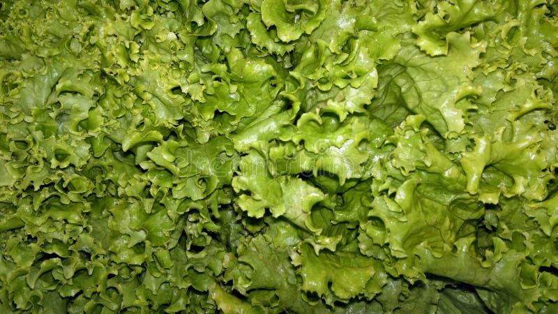 Beaucoup de feuilles fraîchement sélectionnées de laitue photos libres de droits