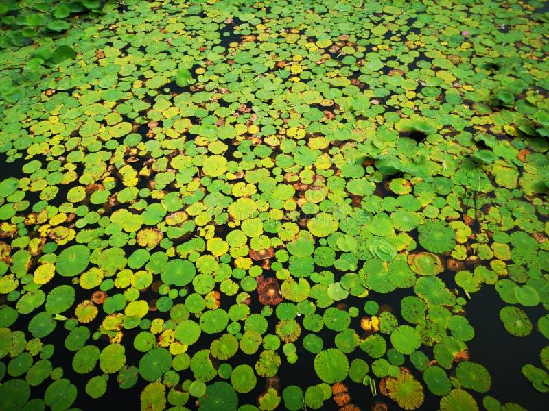 Beaucoup de feuilles de lotus se trouvant sur l'étang image stock