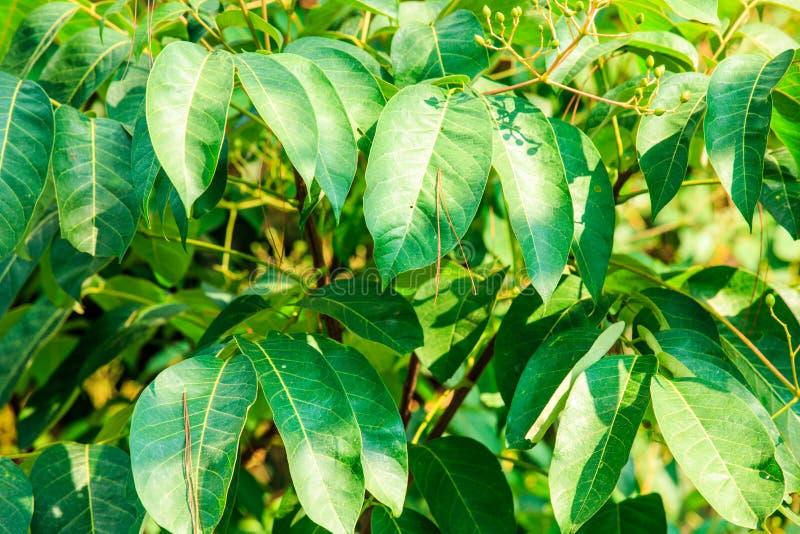 Beaucoup de feuilles de vert sur l'arbre avec la lumière du soleil photo libre de droits