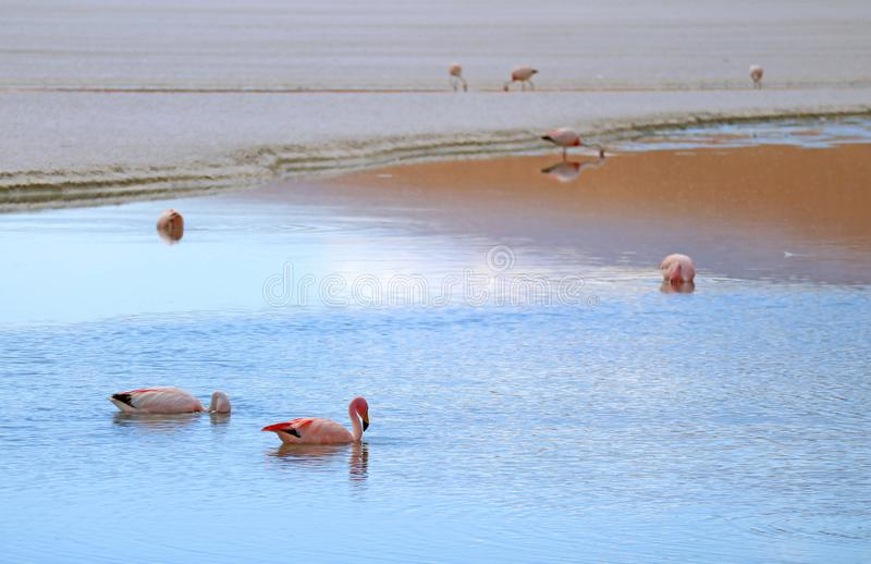 Beaucoup de flamants roses alimentant à Laguna Hedionda, le lac salin dans Altiplano andin, département de Potosi de la Bolivie photo libre de droits