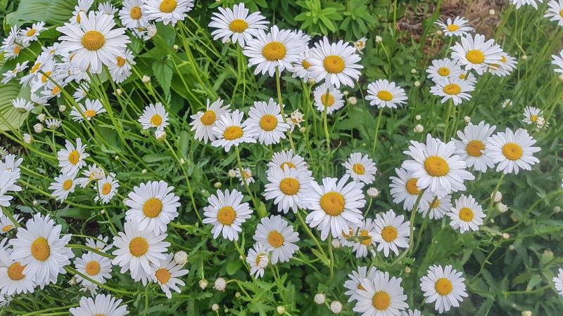 Beaucoup de fleurs blanches de chamomille sur fond d'herbe verte Arrière-plan, plan concassé, horizontal, extérieur, personne Le  photographie stock