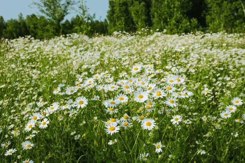 Beaucoup de fleurs de camomille dans le pré au jour d'été sur le backgro images stock