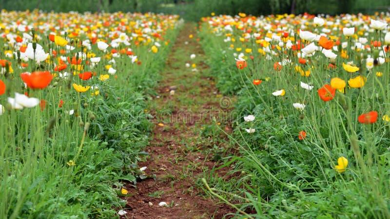 Beaucoup de fleurs de floraison de pavot de maïs photos stock