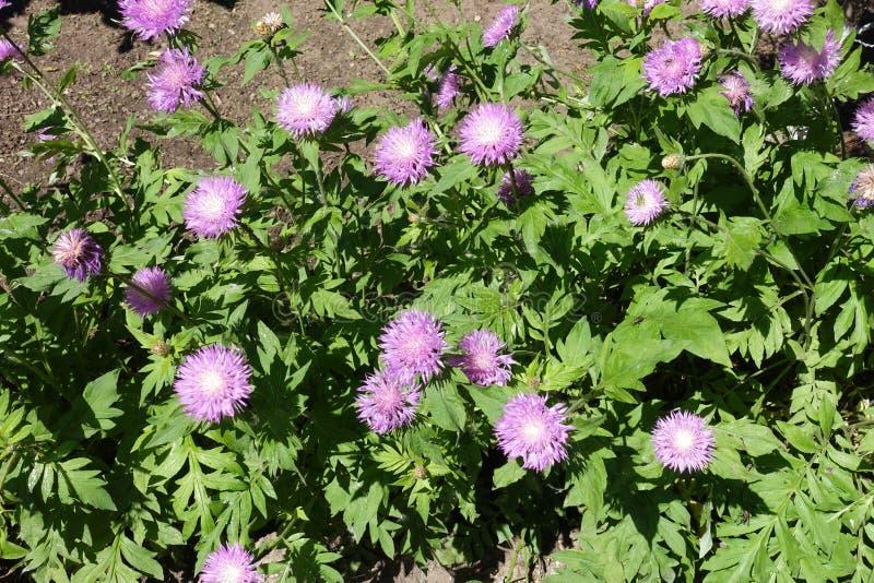 Beaucoup de fleurs mauve de dealbata de Centaurea images libres de droits