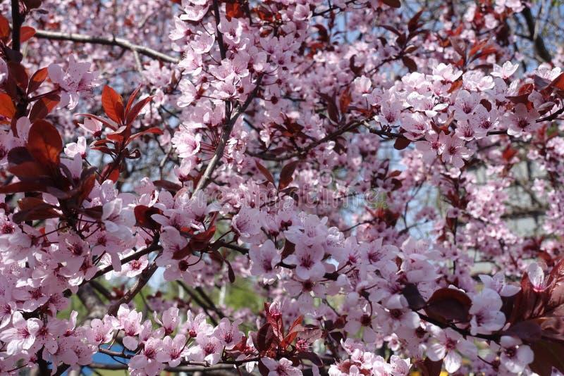 Beaucoup de fleurs roses de pissardii de Prunus images stock