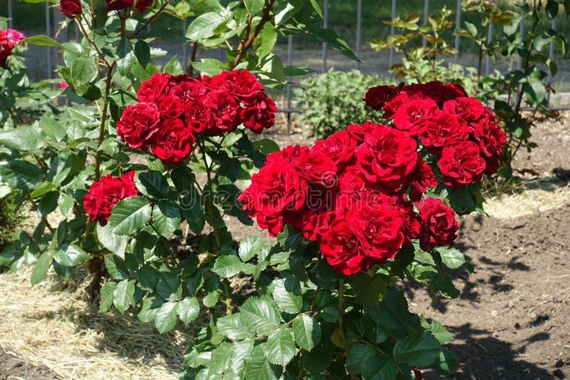 Beaucoup de fleurs rouges de rosier image stock