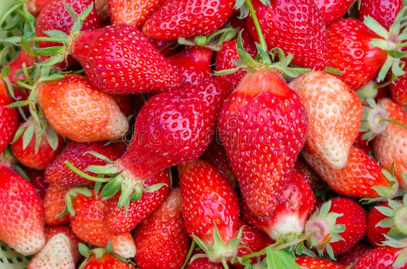Beaucoup de fraises rouges Groupe de fraises m?res faites maison Nourriture v?g?tarienne de fruit organique de fraise Plan rappro photo libre de droits