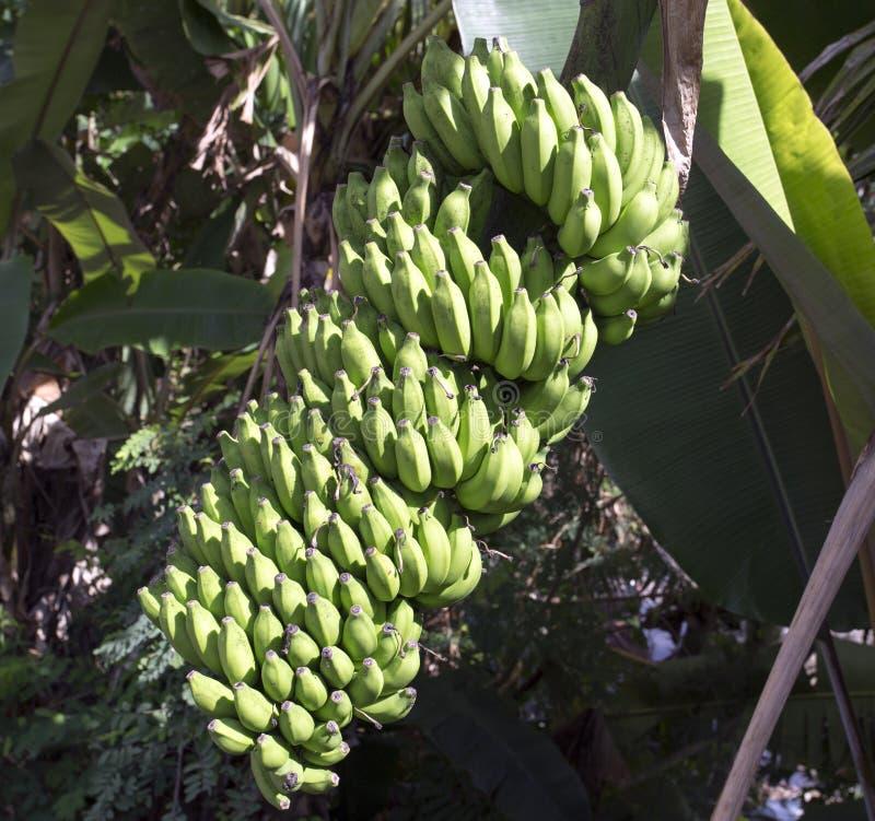 Beaucoup de fruits sur un bananier images stock