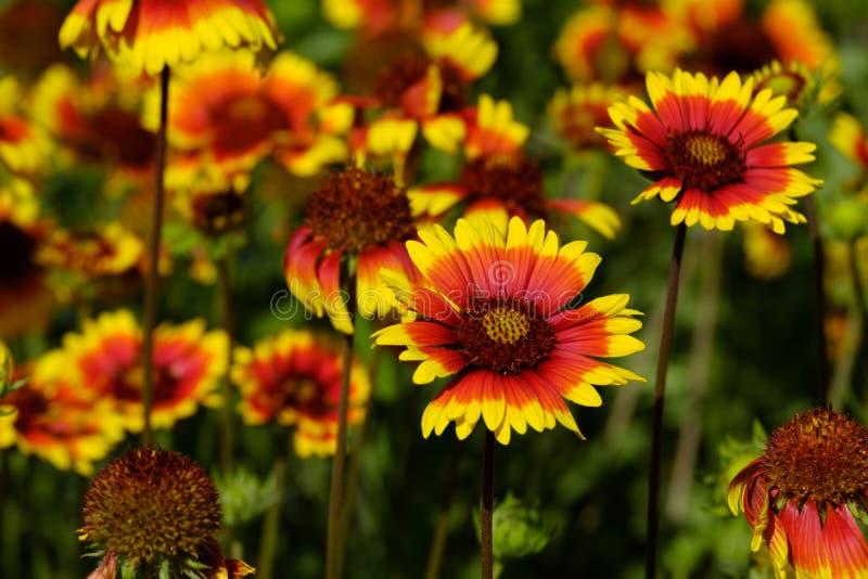 Beaucoup de gaylard fleurit sur le fond d'autres couleurs semblables, jardin lumineux d'illumination de temps clair d'été photographie stock