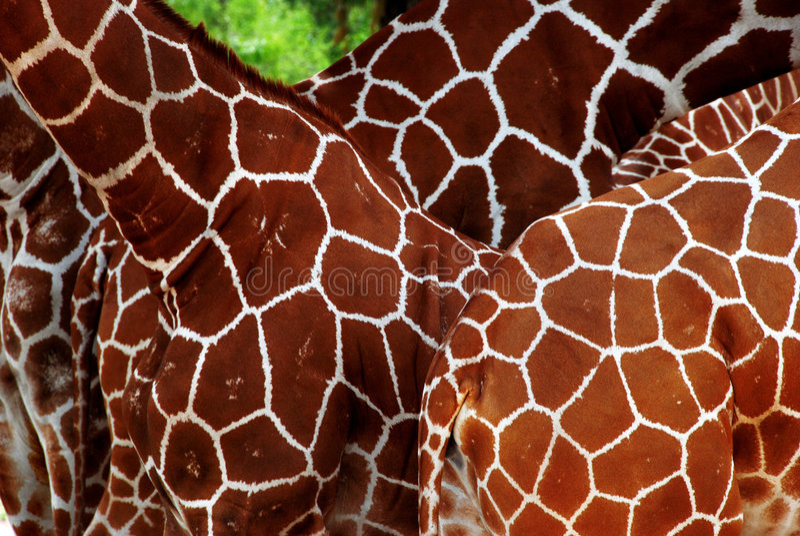 Beaucoup de giraffes photo stock