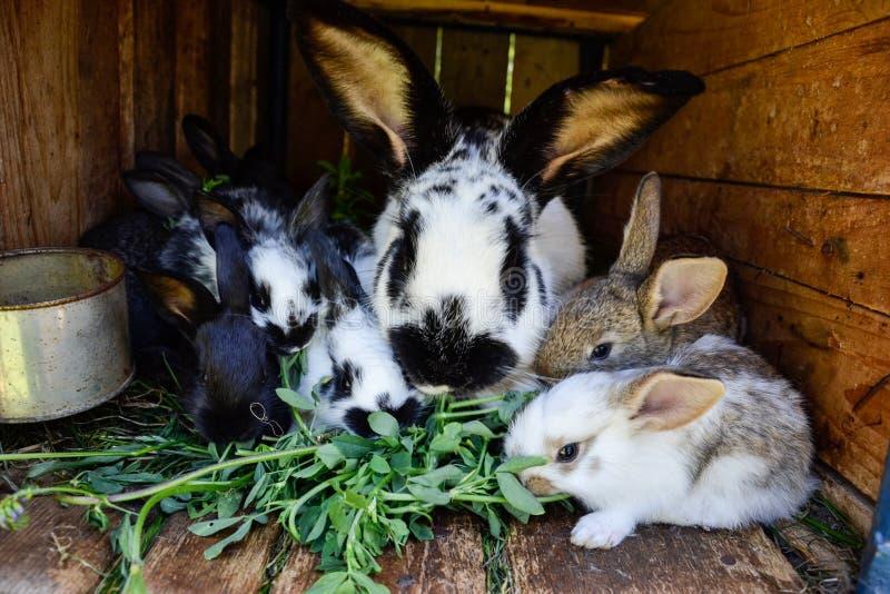 Beaucoup de jeunes lapins doux dans un hangar Un groupe de petite alimentation colorée de famille de lapins sur la cour de grange photographie stock libre de droits