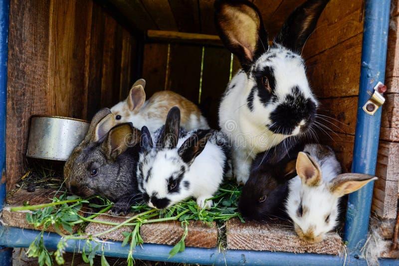 Beaucoup de jeunes lapins doux dans un hangar Un groupe de petite alimentation colorée de famille de lapins sur la cour de grange photo libre de droits