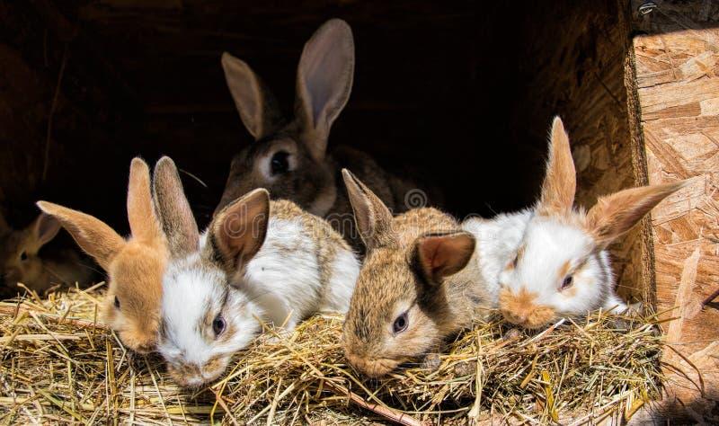Beaucoup de jeunes lapins doux dans un hangar Un groupe de petite alimentation colorée de famille de lapins sur la cour de grange image libre de droits
