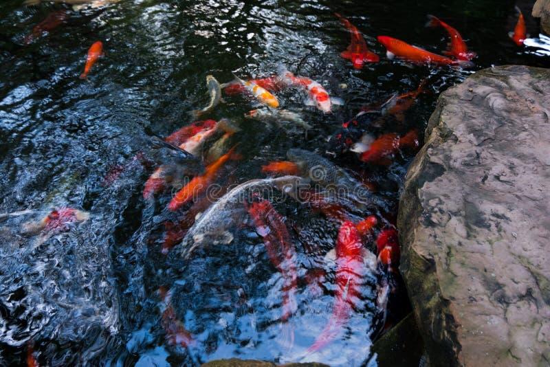Beaucoup de la carpe ou du Koi Fishes de fantaisie photographie stock libre de droits
