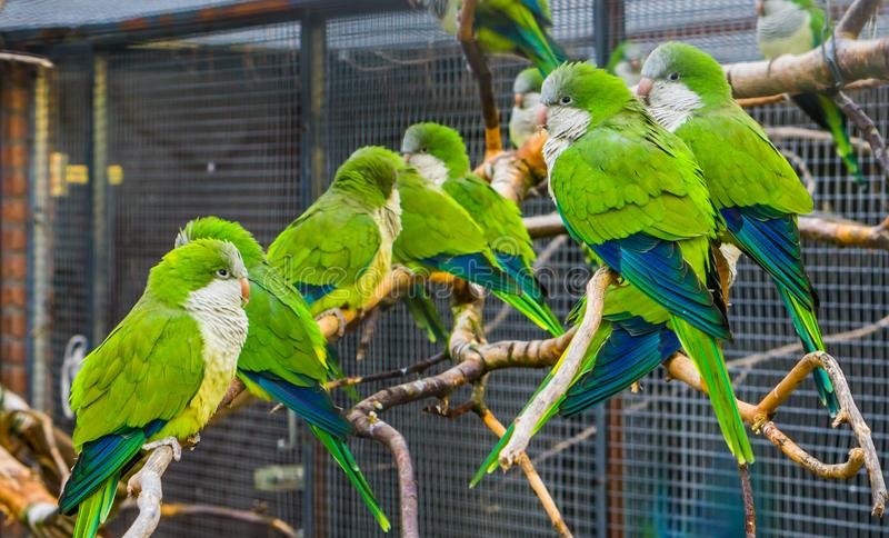 Beaucoup de perruches de moine se reposant ensemble sur les branches dans la volière, animaux familiers populaires en aviculture, photographie stock