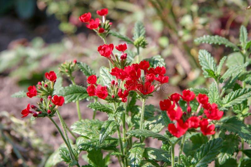 Beaucoup de petites fleurs rouges sur les tiges vertes un jour ensoleillé images libres de droits